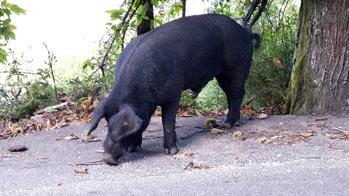 agrandir Porcu Nustrale
